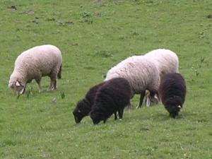 pecore 012