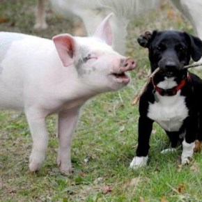 cani-porci