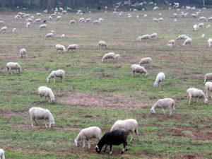 pecore-senza-pastore